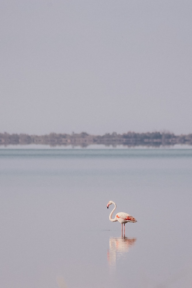 flamand rose camargue